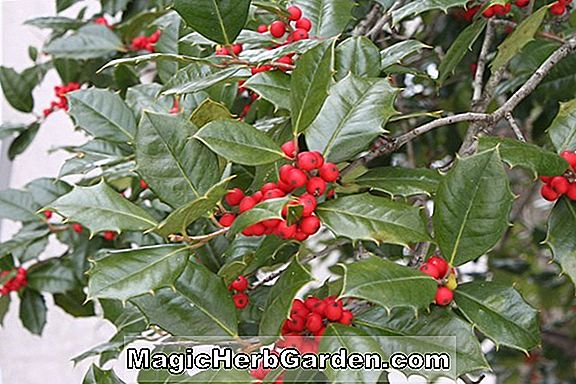Tumbuhan: Ilex opaca (Old Faithful) - #2