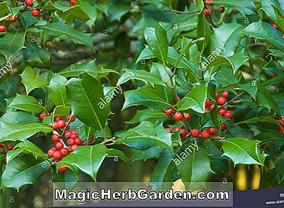 Ilex opaca (Cheerful No. 3 Holly) - #2