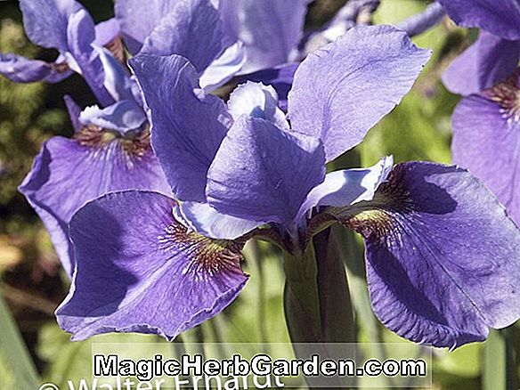 Iris (Sea Shadows Iris)