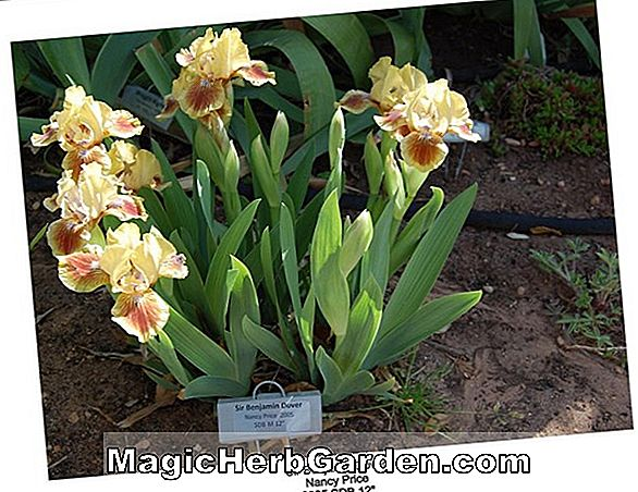 Iris (Brown Lasso Border Bearded Iris)