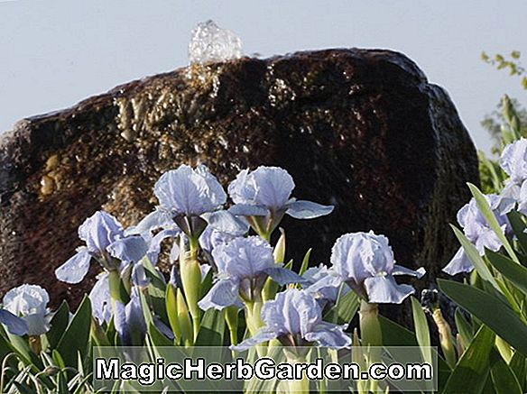 Iris hybrida (Blue Denim iris)