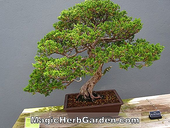 Juniperus chinensis (San Jose Chinese Juniper)