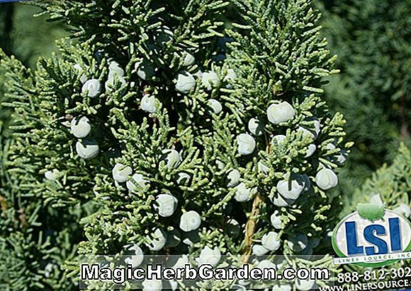 Juniperus chinensis (Kuriwao Gold Chinese Juniper)