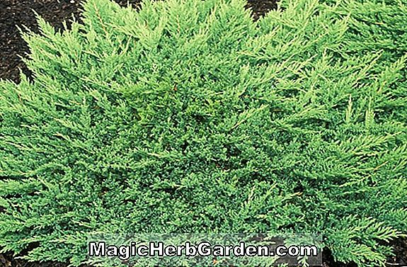 Tumbuhan: Juniperus horizontalis (Mother Lode Creeping Juniper)