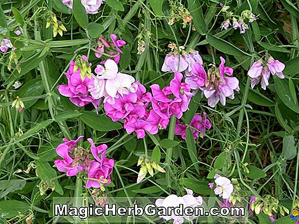 Lathyrus grandiflorus (Two Flowered Pea)