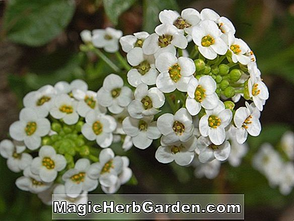 Lobularia maritima (Little Dorrit Sweet Alyssum)