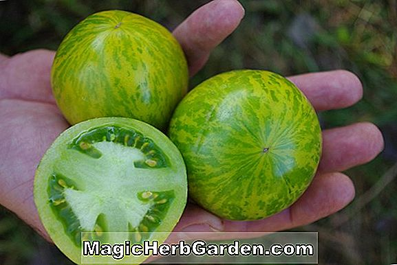 Lycopersicon esculentum (Golden Treasure Tomato)
