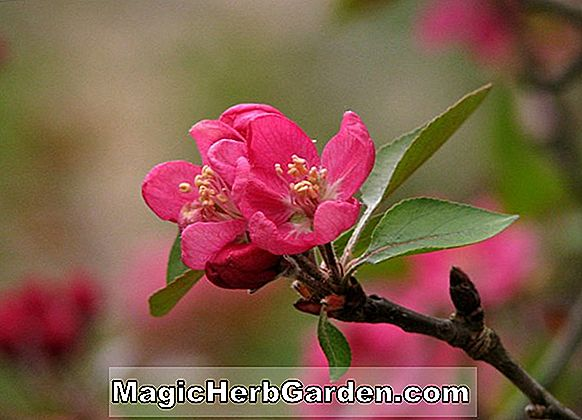 Malus (Hopa Flowering Crabapple)
