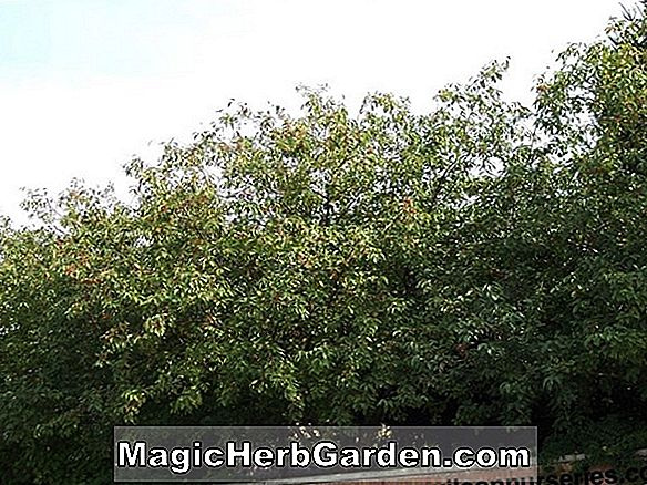 Malus (Copper King Flowering Crabapple)