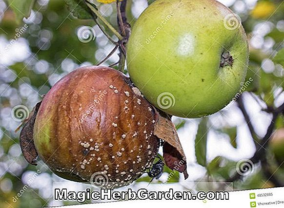 Malus domestica (Brown Sweet Apple)
