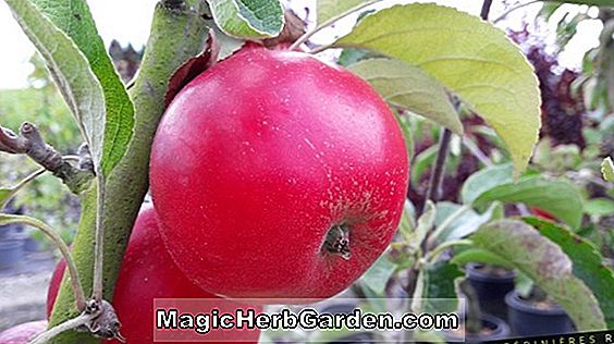 Malus domestica (Akane Apple)