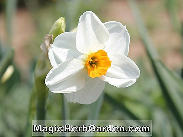 Narcissus (Honeybird Narcissus)