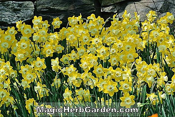 Narcissus (Rouge Daffodil)