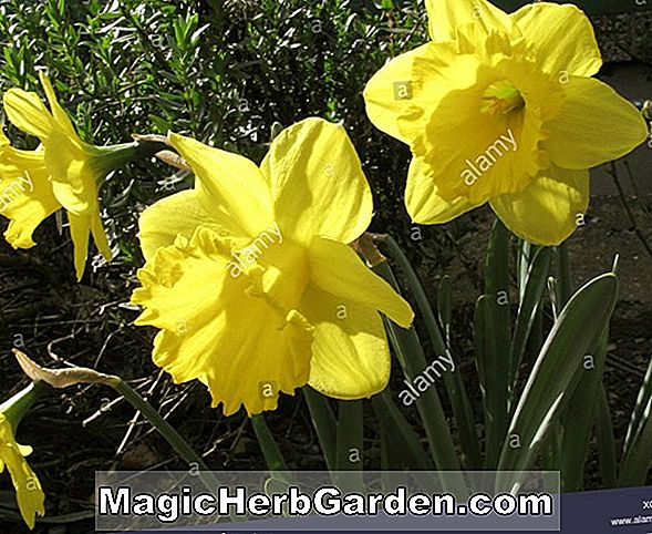 Narcissus (Woodland Star Narcissus)