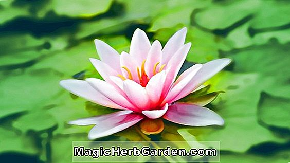 Nymphaea (Apple Blossom Pink waterlily)