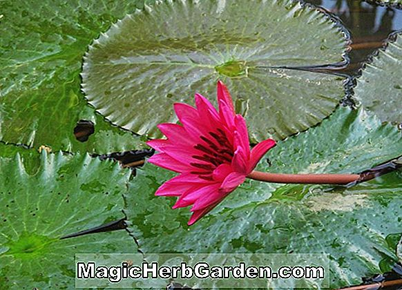 Nymphaea (Flora de Blanca Hardy Water Lily)