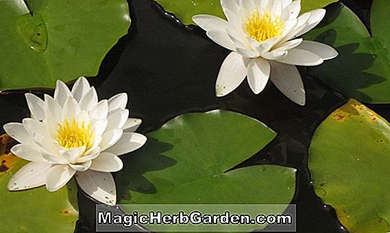 Nymphaea (Gracillima Alba Hardy Water Lily)