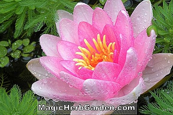 Nymphaea (Jo Ann Waterlily)