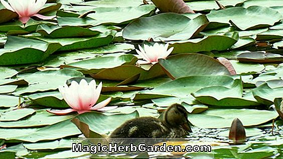 Nymphaea (Margaret Mary Waterlily)