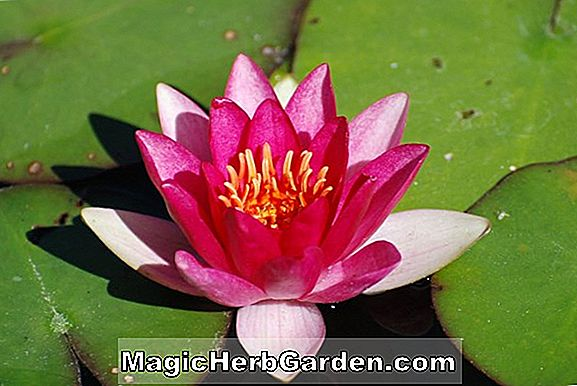 Nymphaea (Perry Baby Red Hardy Water Lily)