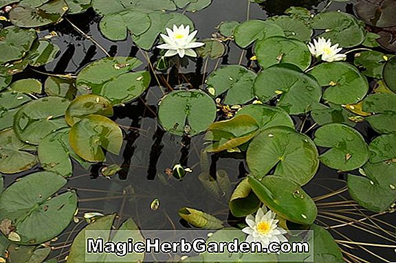 Tumbuhan: Nymphaea (Perry Super Red Hardy Water Lily)