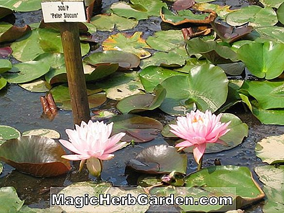 Nymphaea (Perry's Vivid Rose Hardy Water Lily)