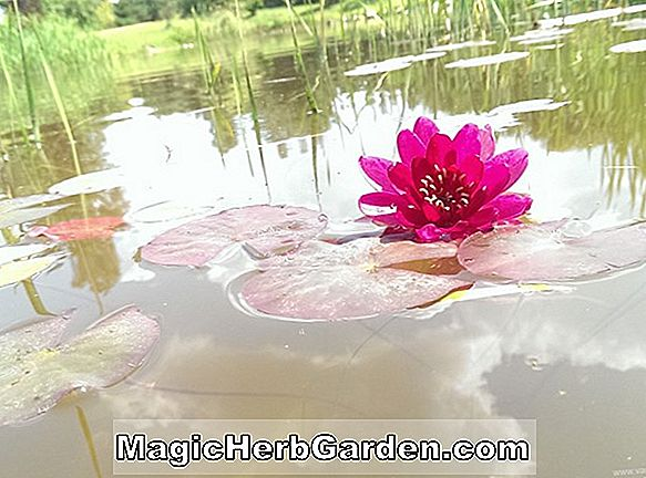 Nymphaea (Pink Star Waterlily)