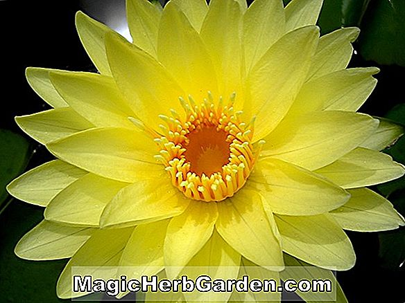 Nymphaea (Yellow Dazzler Tropical Water Lily)