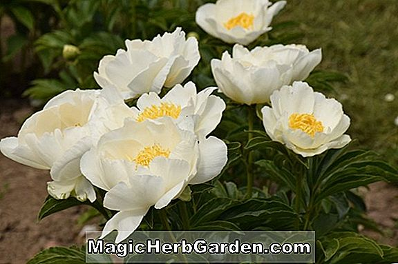 Paeonia lactiflora (Glowing Candles Peony)