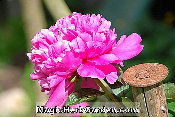Paeonia officinalis (China Rose Peony)