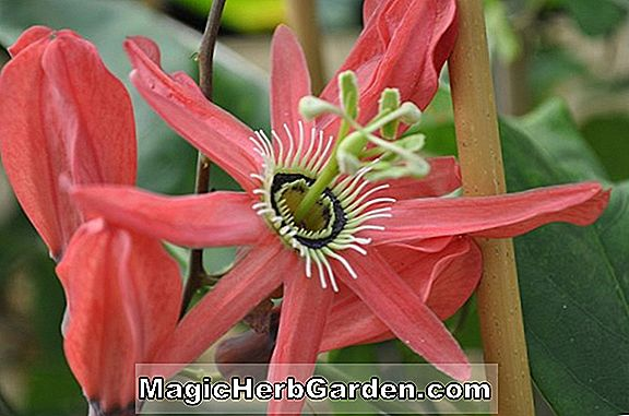 Passiflora racemosa (Red Passionflower)