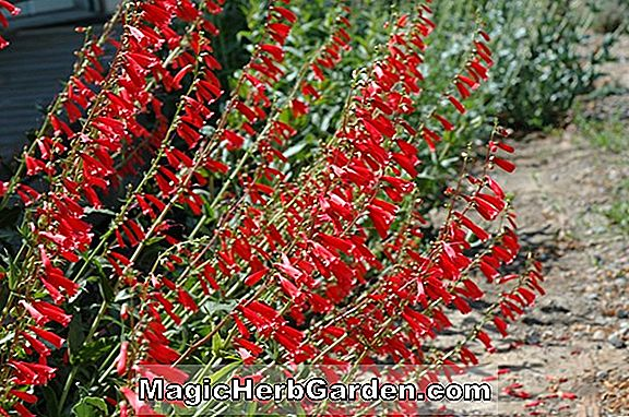 Tumbuhan: Penstemon (Scarlet Queen Penstemon) - #2