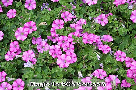 Petunia hybrida (Supertunia Group Petunia)