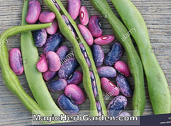 Phaseolus coccineus (Achievement Scarlet Runner Bean) - #2
