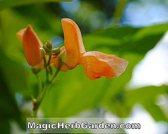 Phaseolus coccineus (Black Knight Scarlet Runner Bean) - #2