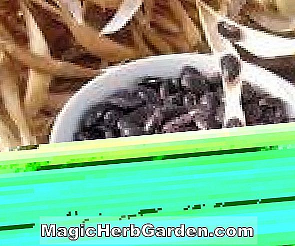Phaseolus vulgaris (Midnight Black Turtle Soup Bush Bean)