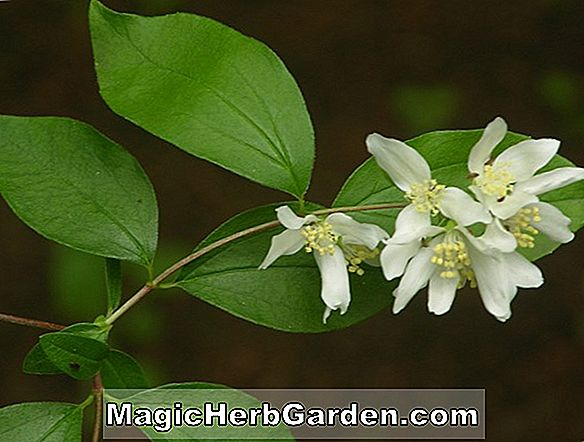 Tumbuhan: Philadelphus lewisii (Lewis Mock Orange) - #2