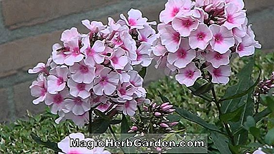Phlox paniculata (Orange Perfection Garden Phlox) - #2