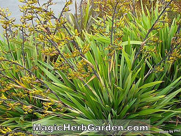 Phormium cookianum (Tricolor Mountain Flax)