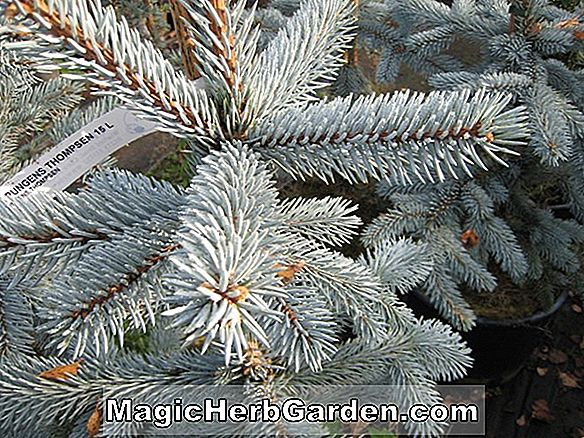 Picea pungens (Thompsen Blue Colorado Spruce)