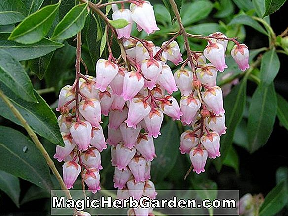 Tumbuhan: Pieris japonica (Christmas Cheer Pieris)