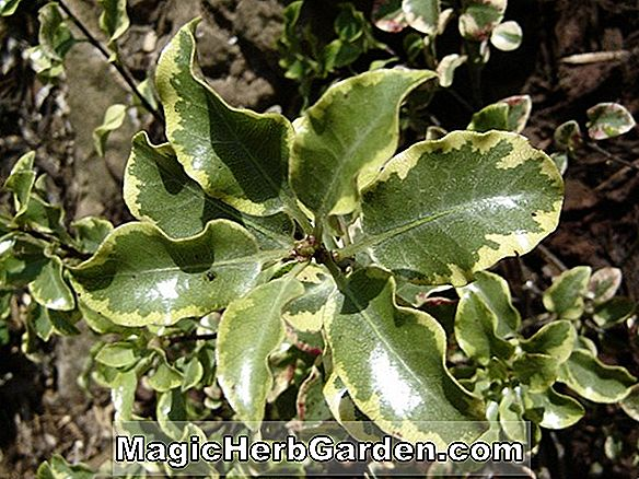 Pittosporum tenuifolium (Wendle Channon Kohuhu) - #2