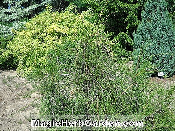 Thuja occidentalis (Lycopodioides American Arborvitae) - #2