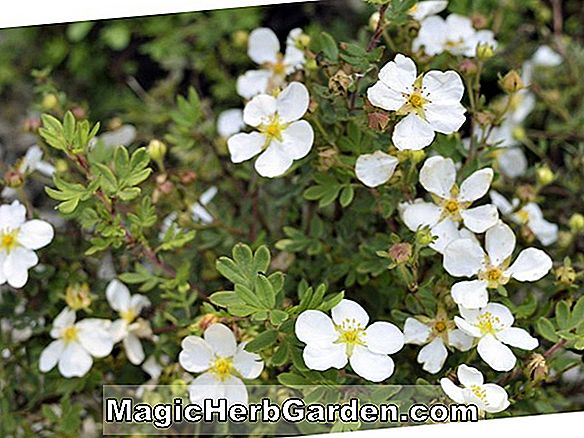 Potentilla fruticosa (Hollandia Gold Potentilla) - #2