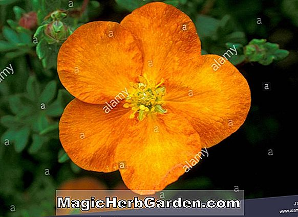 Potentilla fruticosa (Sunset Shrubby Cinquefoil) - #2