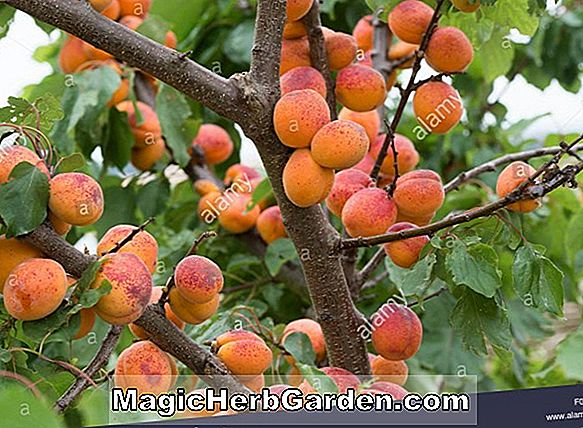 Prunus armeniaca (Newcastle Apricot) - #2