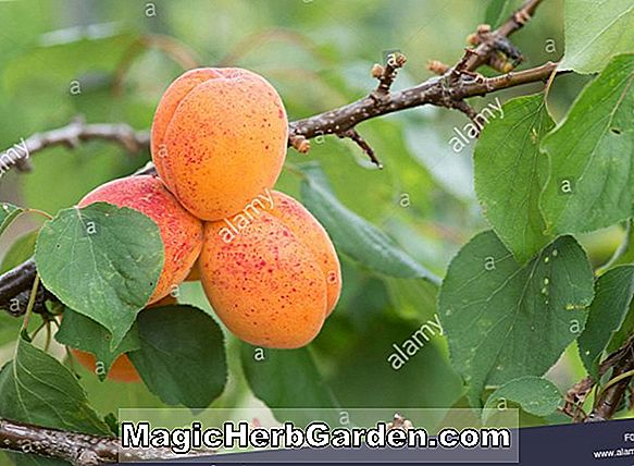 Tumbuhan: Prunus armeniaca (New Improved Flaming Gold Apricot)
