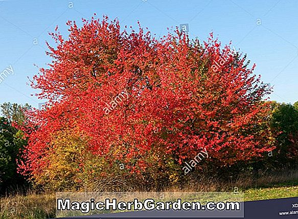Prunus persica (Autumn Gold Peach) - #2