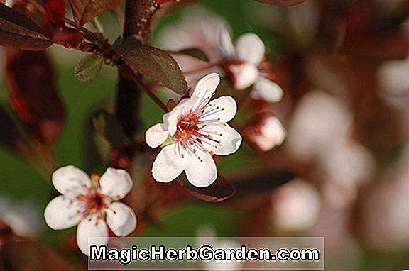 Prunus x cistena (Minnesota Red Purpleleaf Sand Cherry)