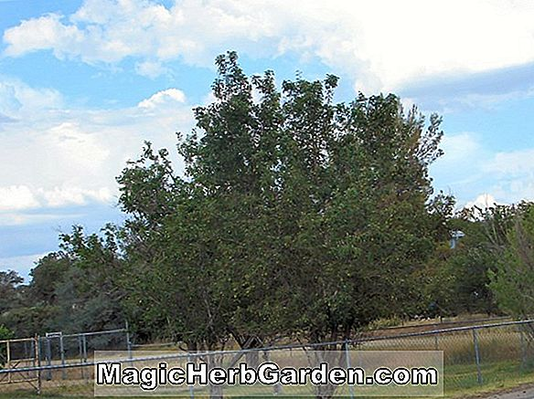Pyrus communis (Rescue Pear)